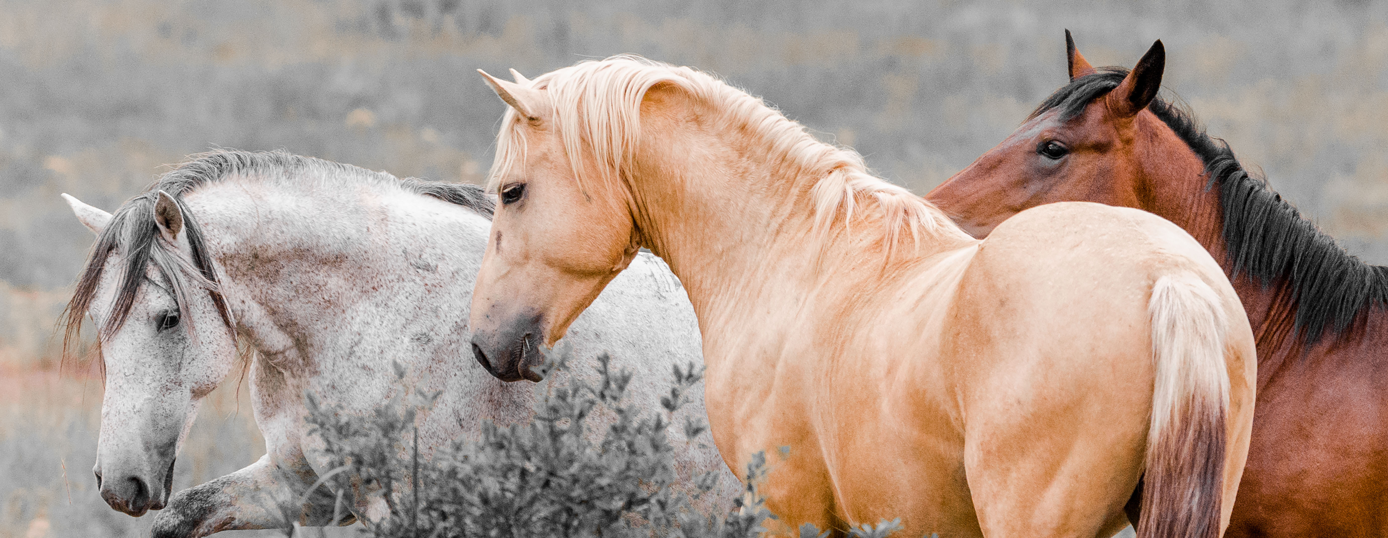 The Wild horses of Kaapsehoop